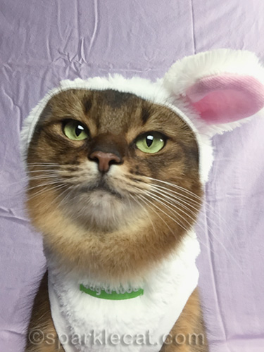 somali cat with one-eared flopped over bunny outfit