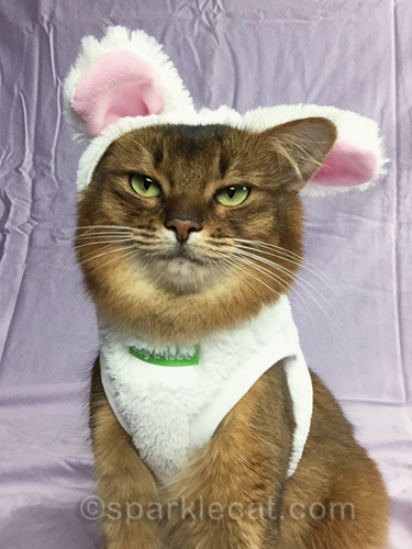 somali cat in bunnycat outfit with one ear hanging out