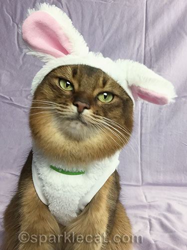 somali cat taking a selfie in a bunnycat outfit