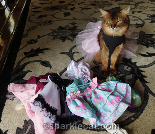 somali cat looking at pile of cat clothes