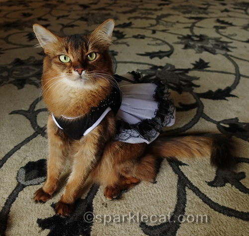 somali cat with black and white red carpet dress