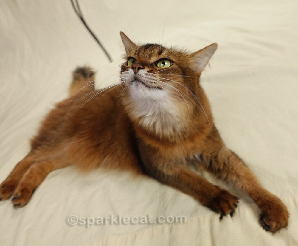 somali cat looking at chin strap from hat