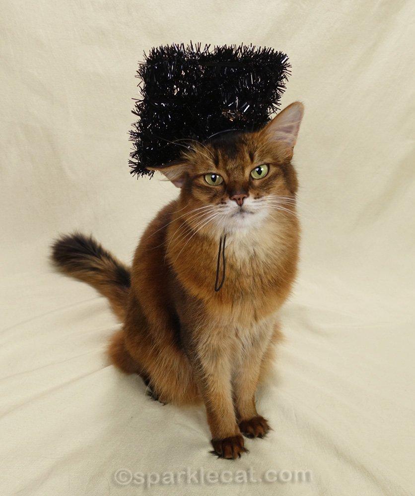somali cat in falling-off graduation hat
