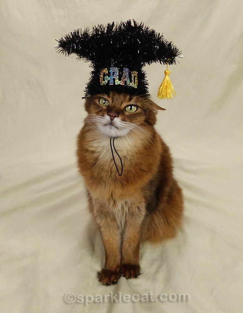 somali cat wearing graduation cap... badly