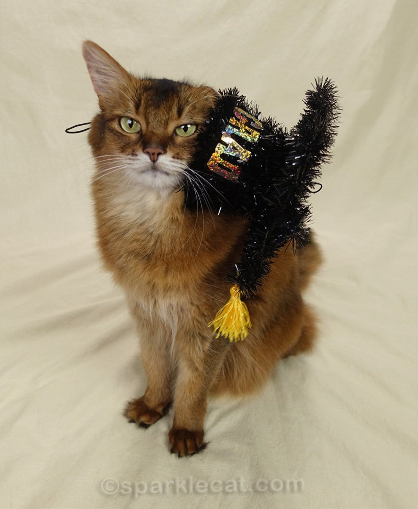 somali cat with graduation cap falling off