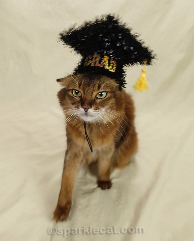 somali cat walking with graduation cap on