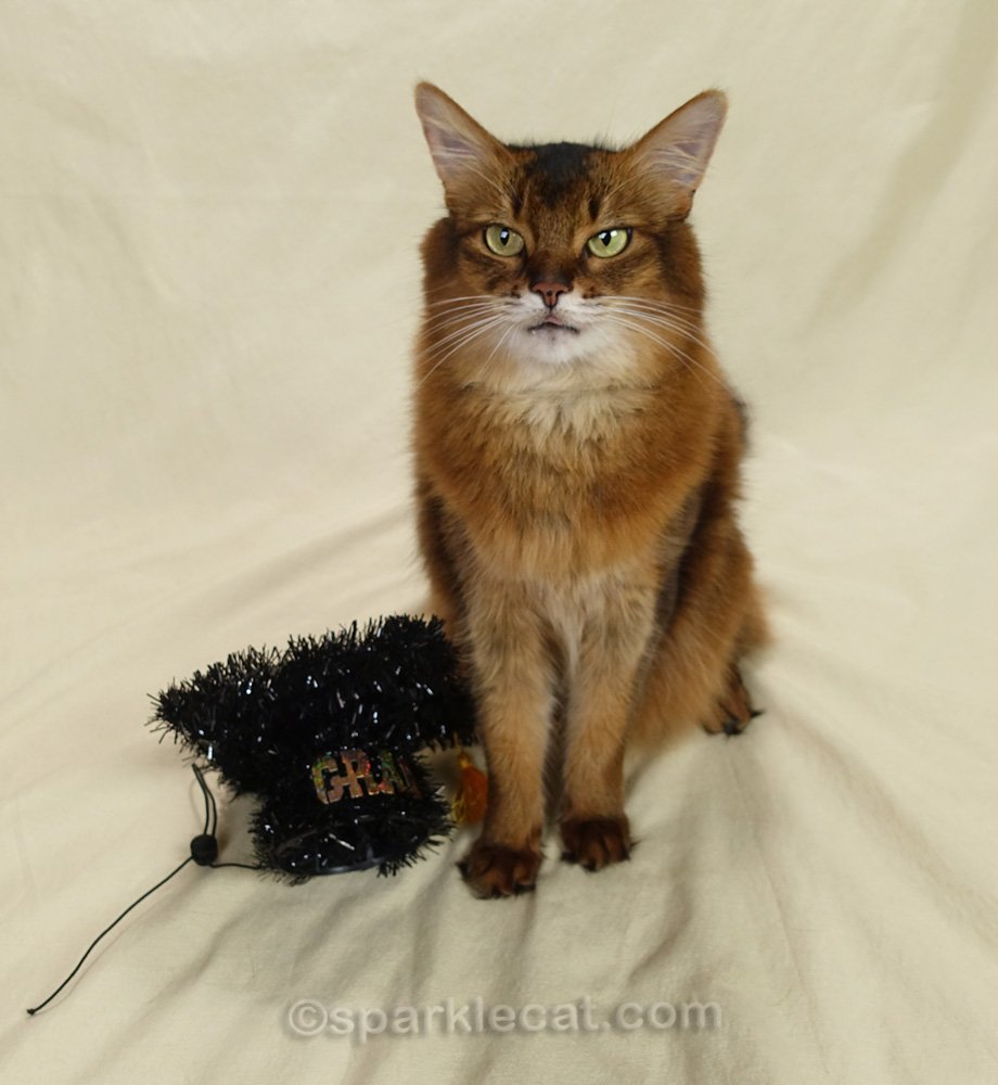 somali cat with tongue sliver and graduation cap next to her