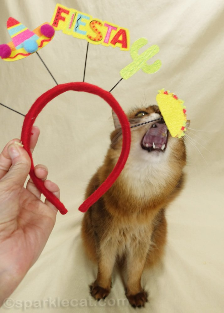 somali cat trying to bite the taco decoration on a Cinco de Mayo headband
