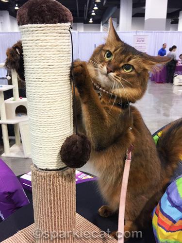 somali cat on Cat Lounge scratcher