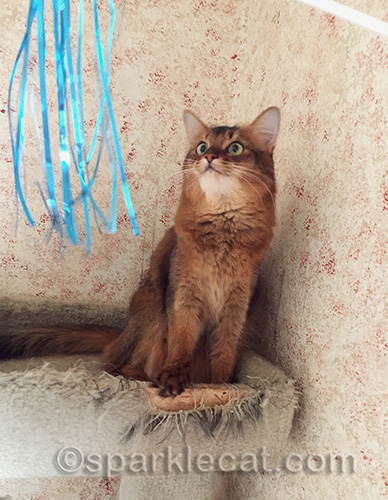 somali cat looks at cat toy streamers