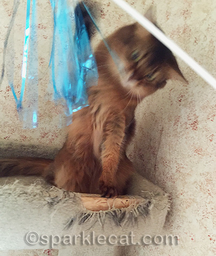 somali cat bats at cat toy streamers