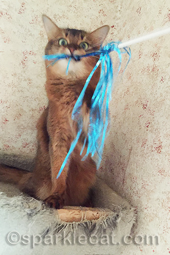 somali cat making funny face while playing with cat toy