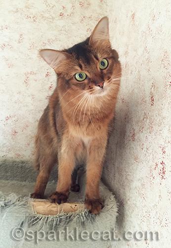 playful somali cat in cat tree