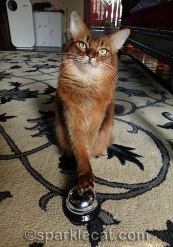 somali cat ringing a bell