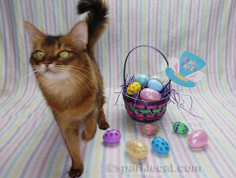 somali cat on Easter set, wanting treats