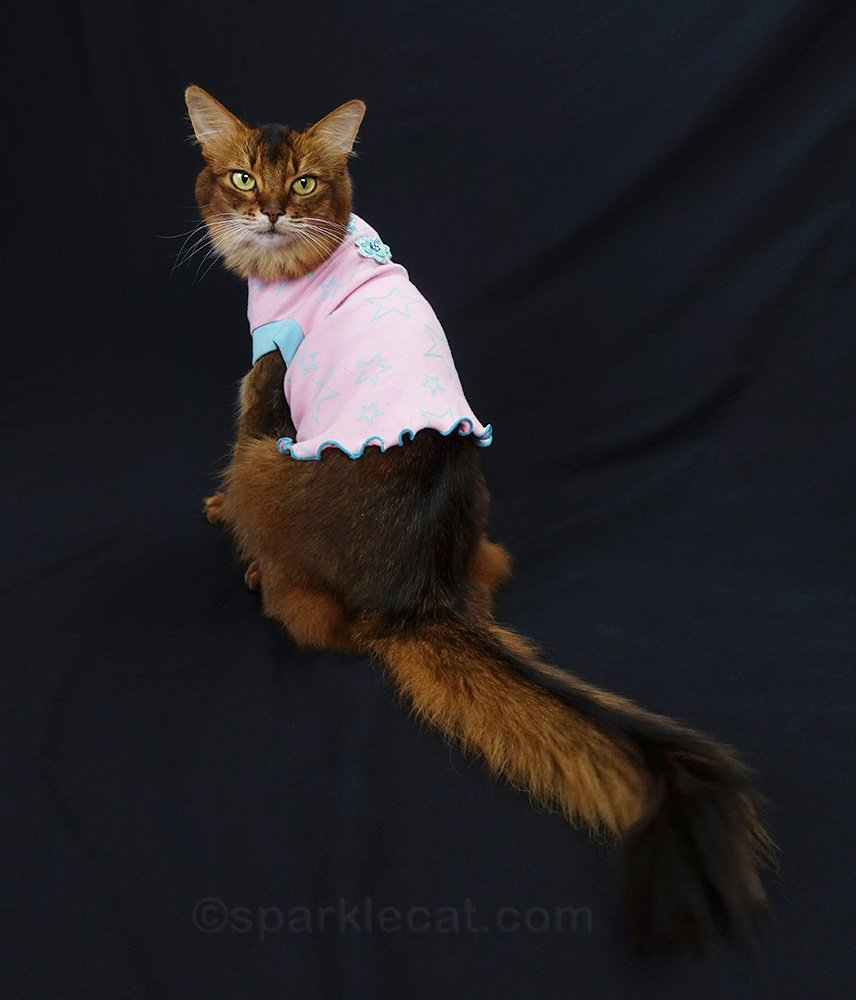 somali cat showing t-shirt from back.