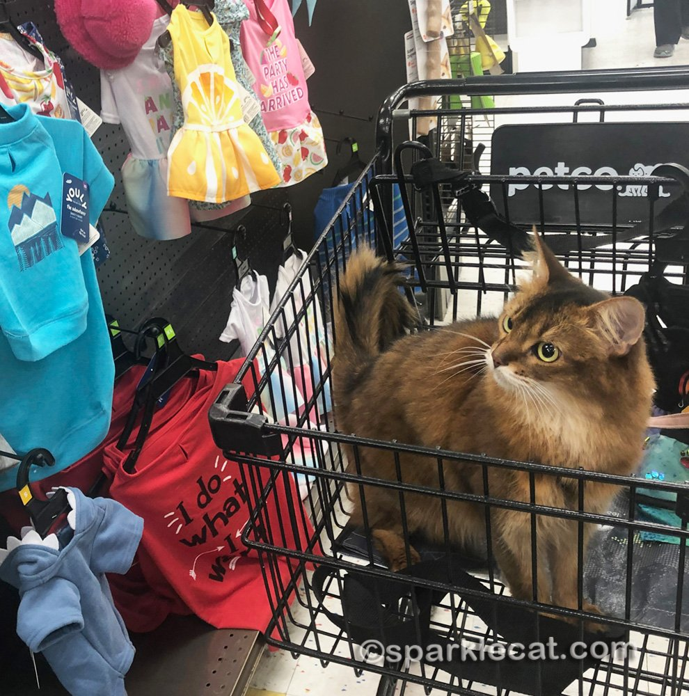 somali cat looking at clothing aisle in pet store