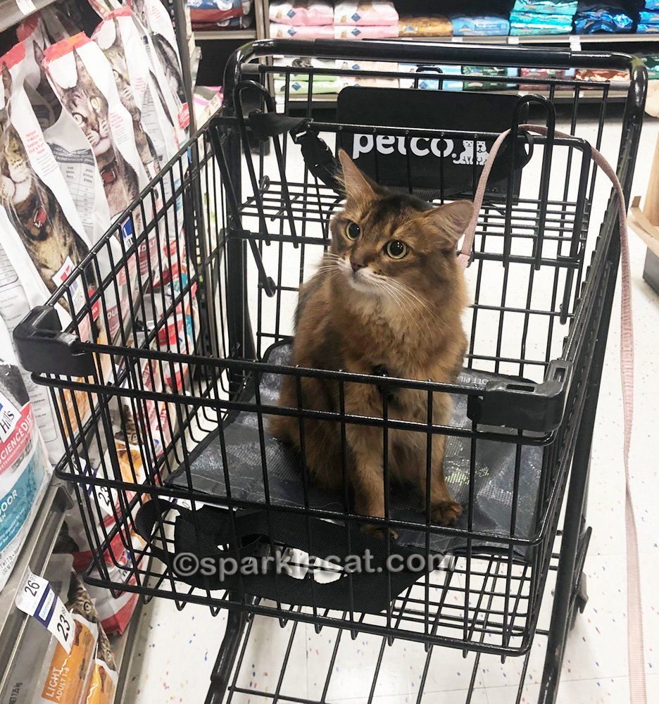 Somali cat in shopping cart, looking at shelves of cat food