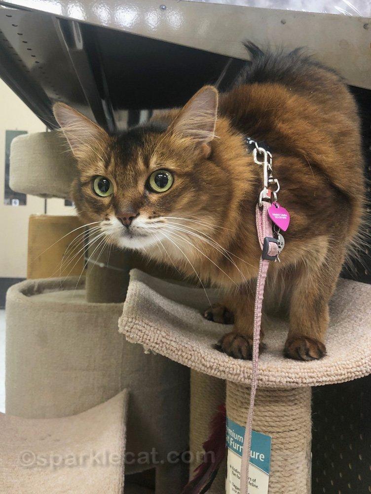 somali cat in cat tree at pet store