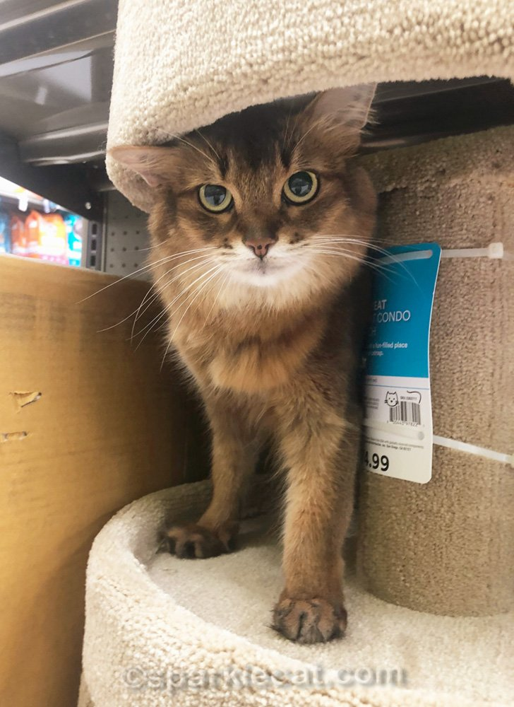 Somali cat on cat tree in pet store
