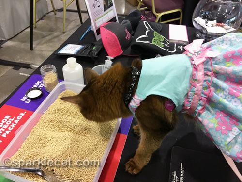 somali cat checking out World's Best Cat Litter