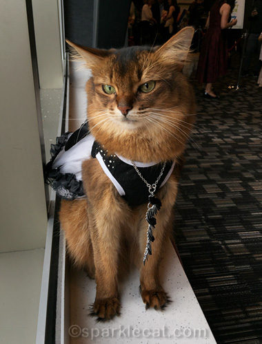 somali cat wearing evening dress and necklace