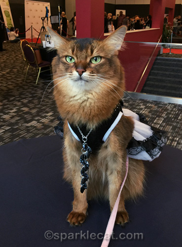 somali cat being philosophical about the dress disaster