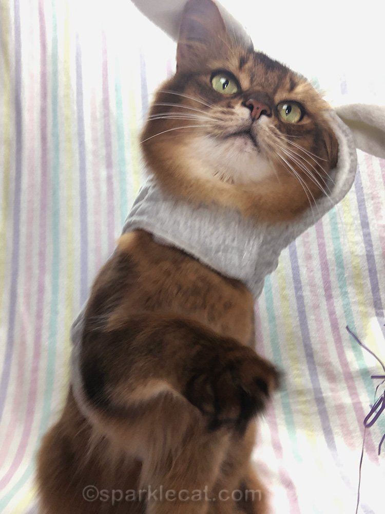 somali cat in bunny outfit, reaching for iPhone