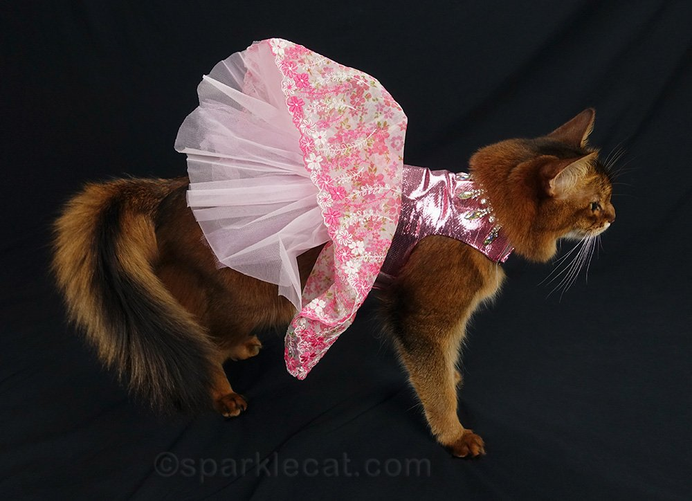 somali cat showing of dress petticoats