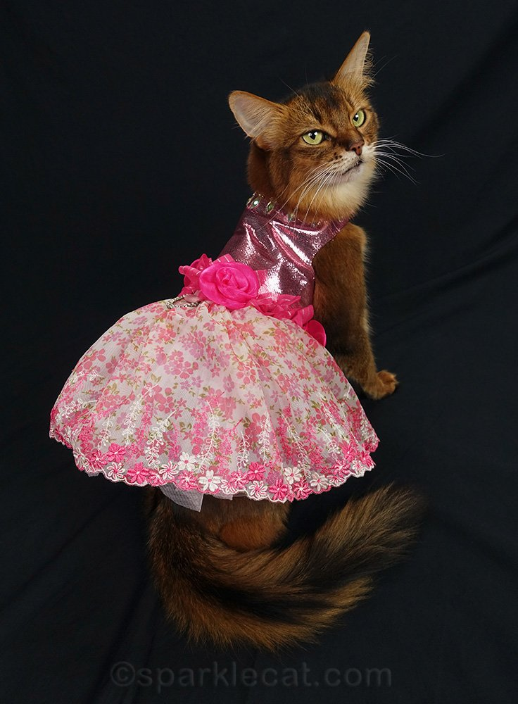 somali cat showing off back of fluffy pink skirt