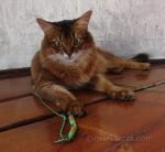somali cat in turret with Rompicatz Cattipeed toy