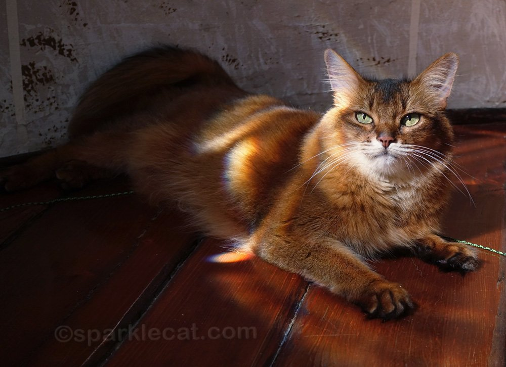 somali cat waiting to be photographed