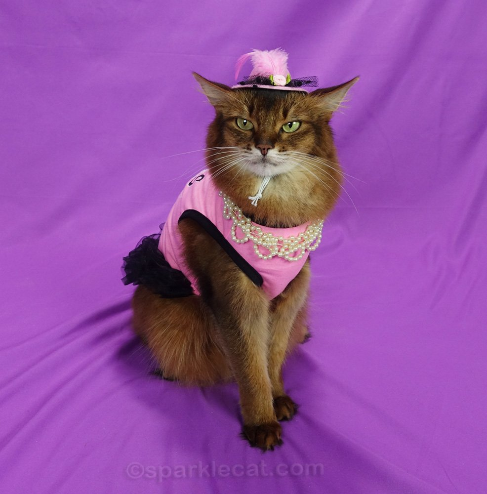 somali cat wearing pink dress with black tulle, a hat, and necklace