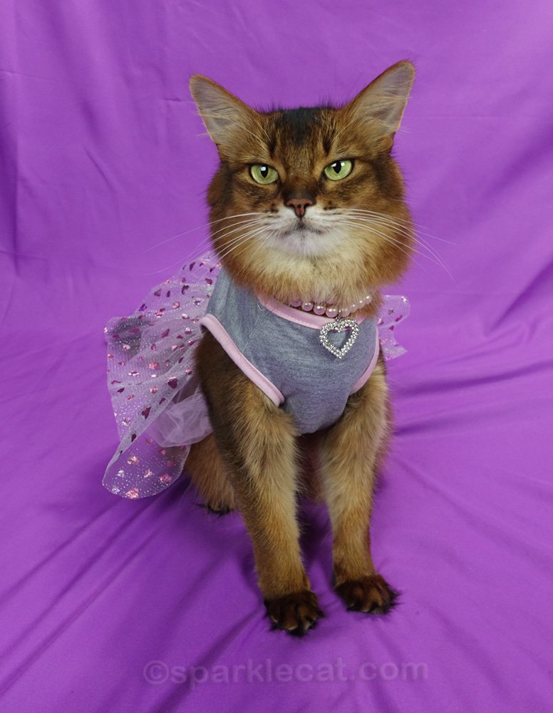 somali cat wearing gray dress with pink heart tulle skirt and necklace with pink pears and crystal heart