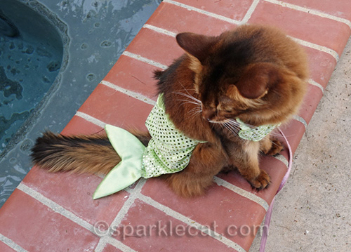 somali cat looking at her silly mermaid costume