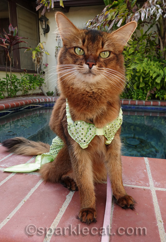somali cat posing nicely in mer-cat outfit