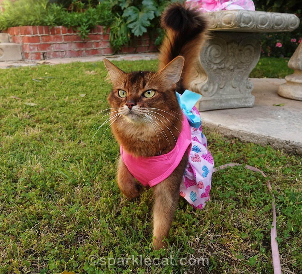somali cat in spring dress on grass
