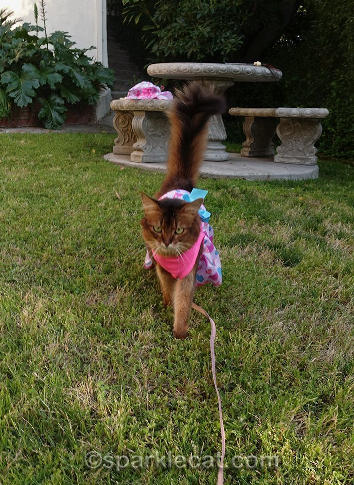 somali cat strolling through front yard