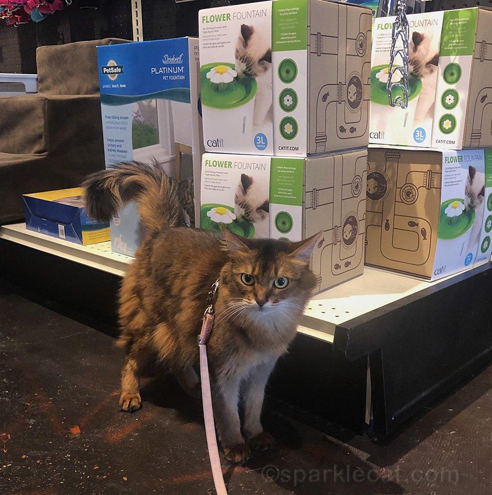 somali cat wondering where her public is