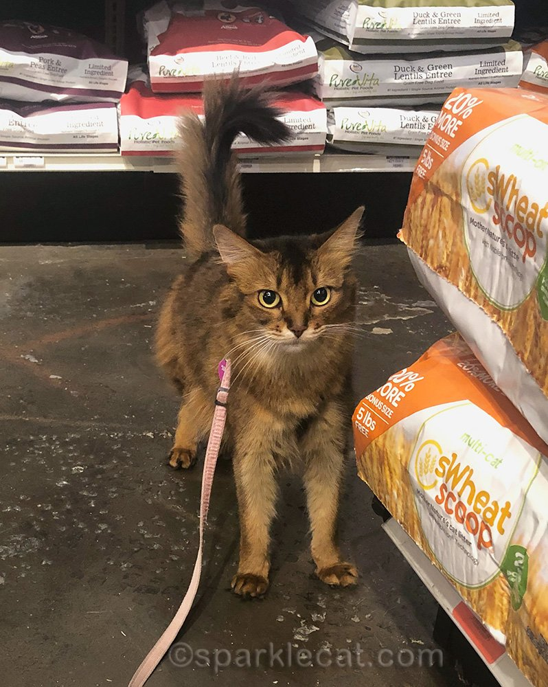 somali cat bummed about needing to be cleaned after pet shop visit