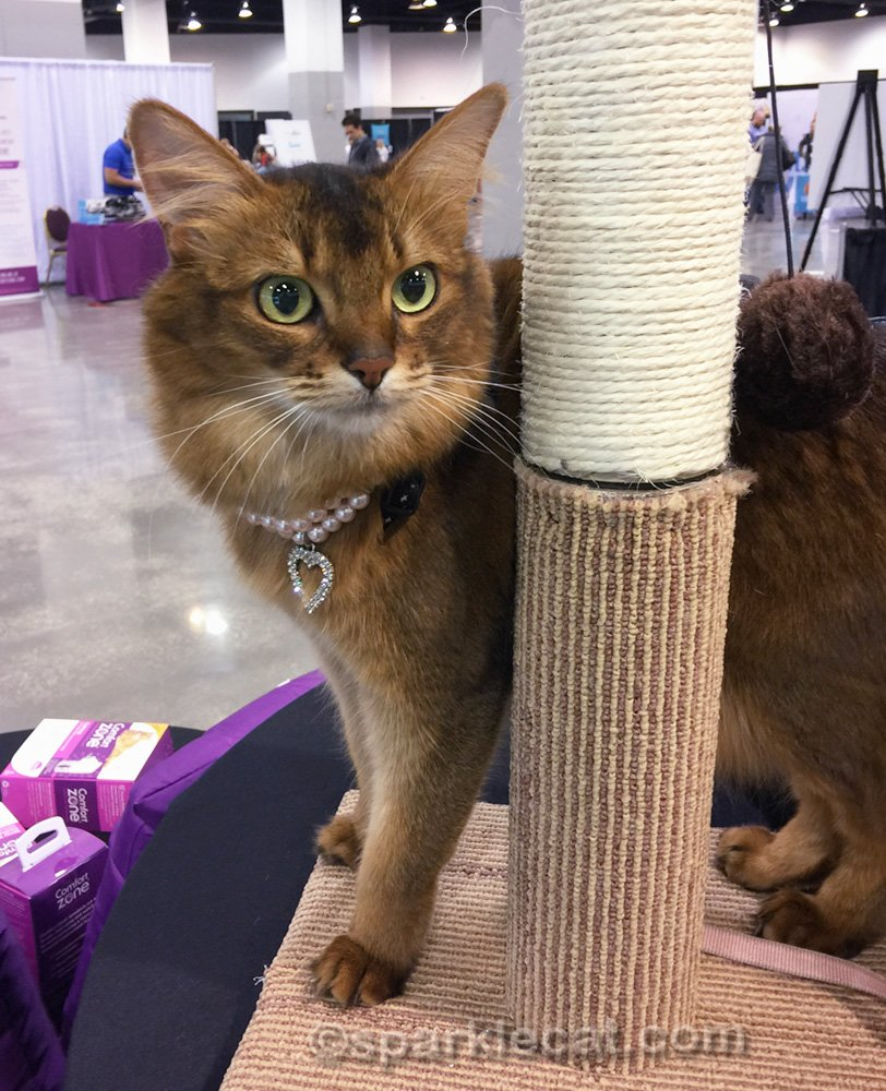 somali cat on cat tree in exhibition hall of Blogpaws