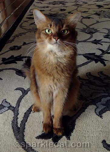 somali cat sitting pretty