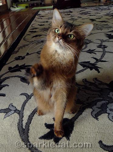 somali cat raising paw for high five
