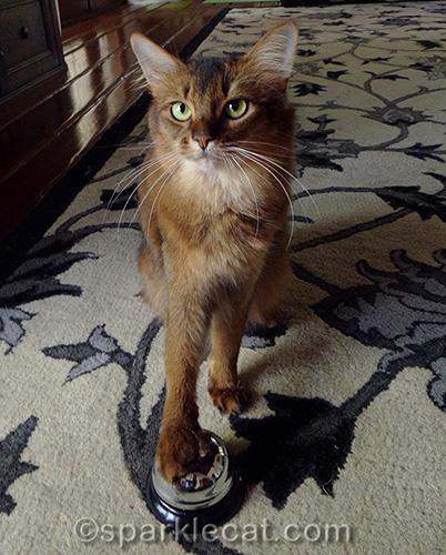 somali cat ringing a desk bell