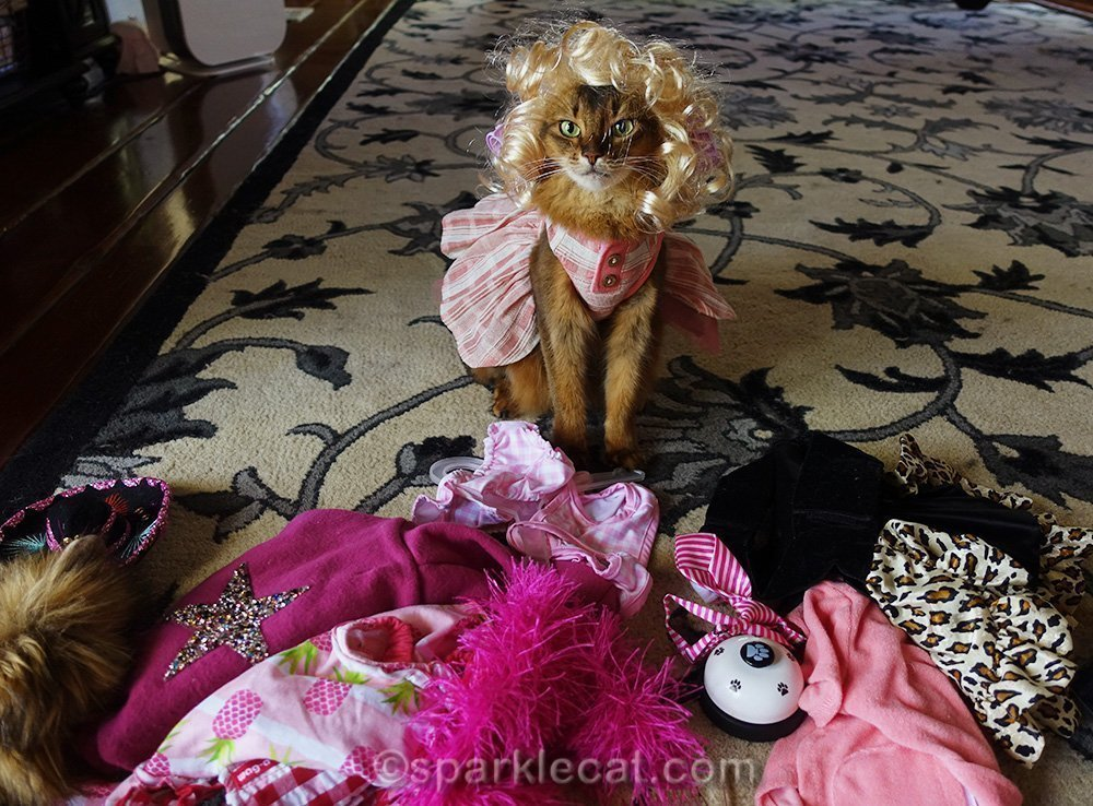 somali cat in blonde wig preparing for her pet expo weekend
