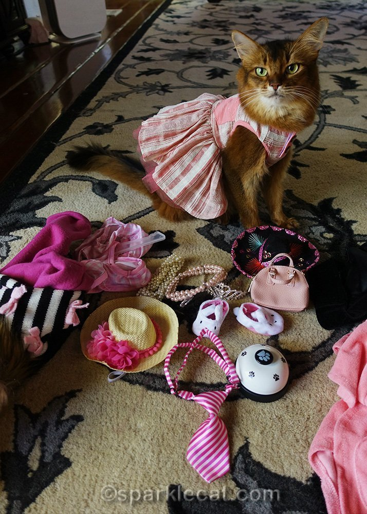 somali cat in dress looking at accessories