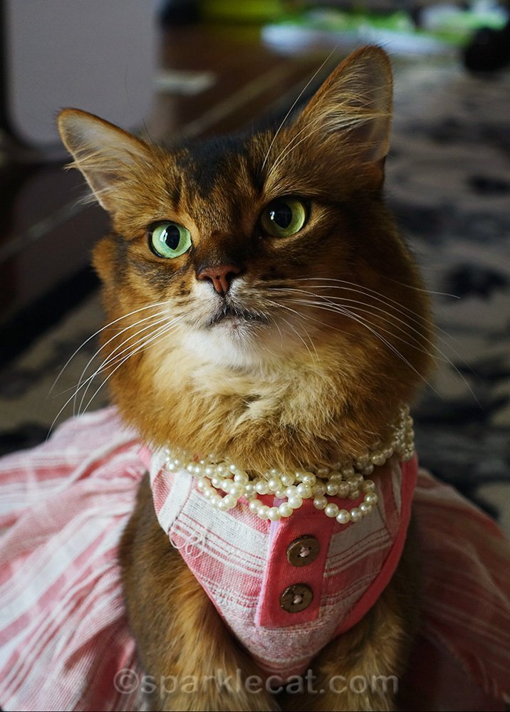 somali cat in dress with pearl necklace