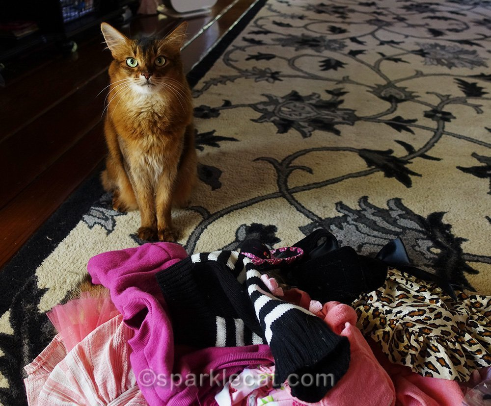 Somali cat with a lot of wardrobe