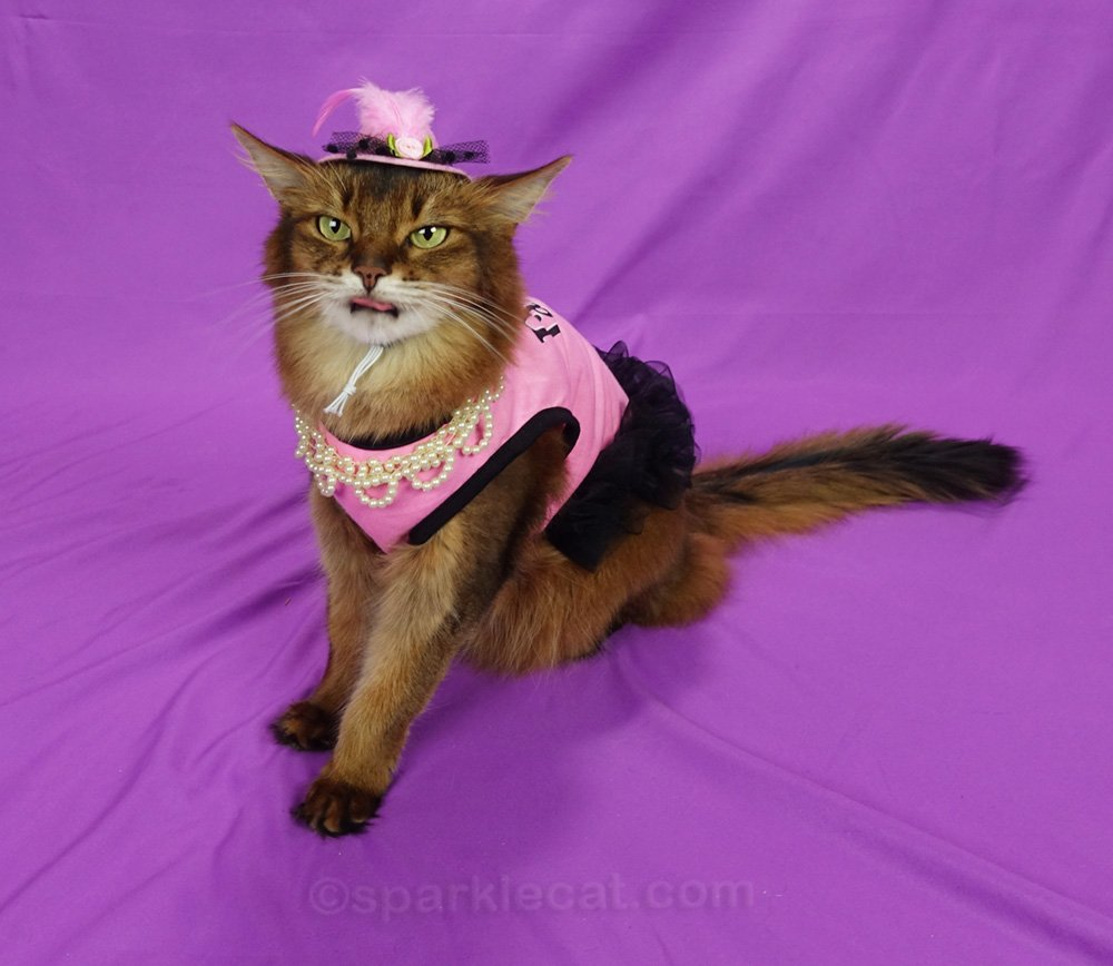 somali cat in pink dress and hat, with tongue out