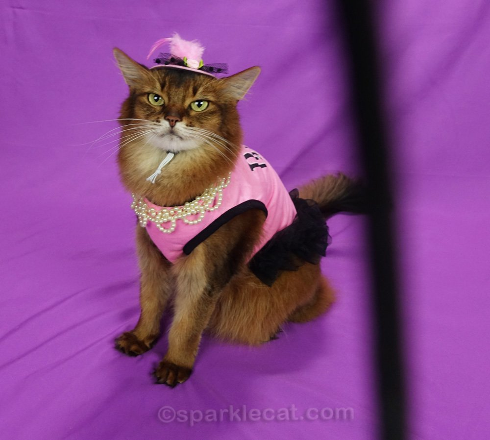 Somali cat with dress hat, and long suffering face with camera strap in frame